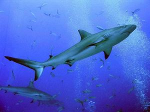 Blacktip-shark
